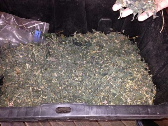 bin of dried indigo leaves