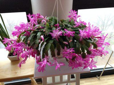 Mom's Christmas cactus