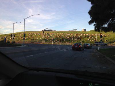 a hill of goats!
