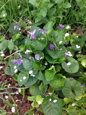blossoming violets!