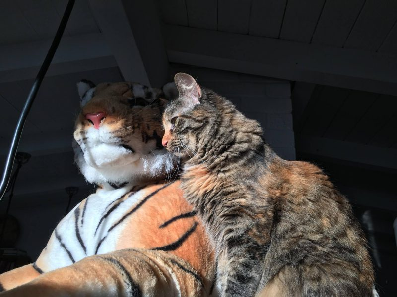 Two tigers!