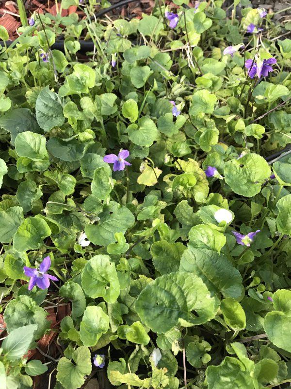 violets!