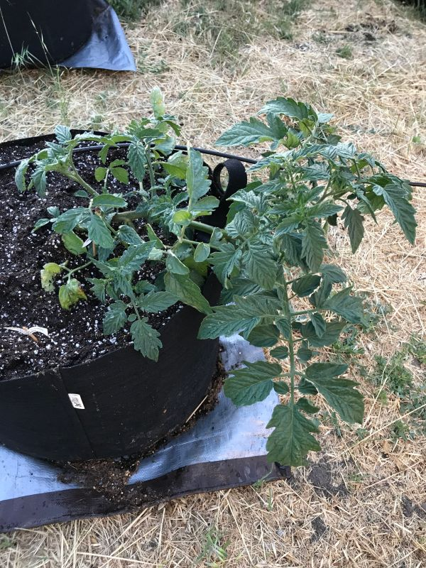 Fruity Mix tomato plant