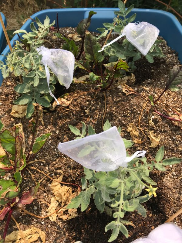 Container full of Fuzzy Mix tomato plants with blossom bags