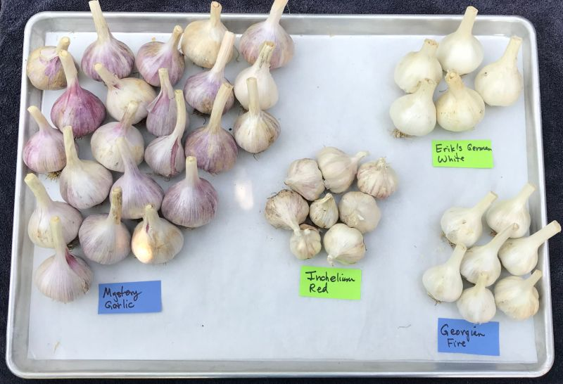 2018 garlic harvest