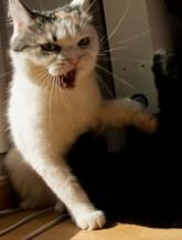 Kommunikation von Katzen Fauchen