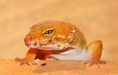 Christina H. - Leopardgecko Sunglow