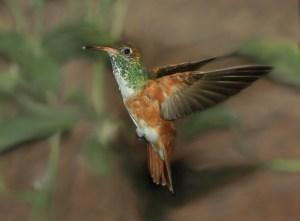Johanna G - Rekorde im Vogelreich Kolibri