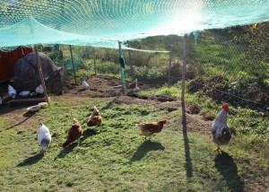 Das schaf im eigenen garten nutztiere tierzeit - Kot im garten von welchem tier ...