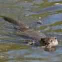 Bedroht: Der Eurasische Fischotter (Lutra lutra)