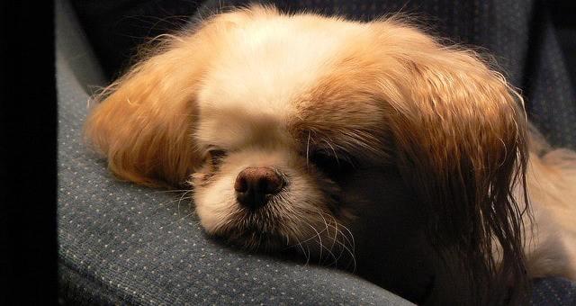 Konjunktivitis (Bindehautentzündung) bei Hunden