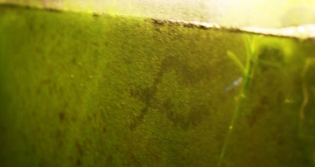 Algen: Wie man sie im Aquarium erkennt, bestimmt und bekämpft