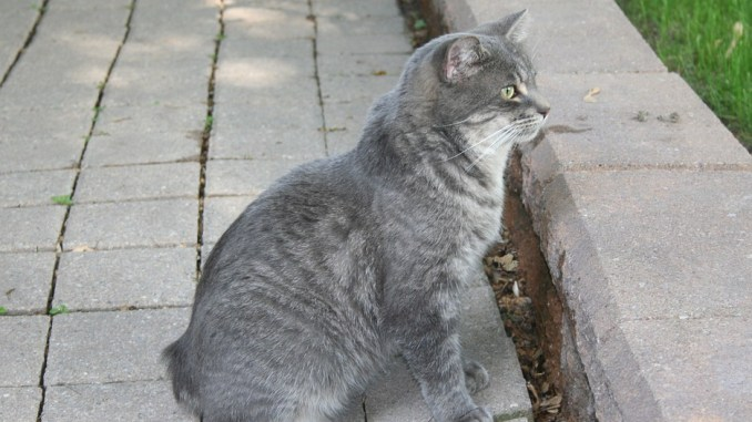 Manx-Katze-kurzhaar