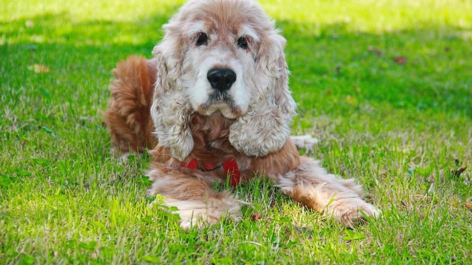 Cocker Spaniel Hund Charakter Aussehen Und Haltung