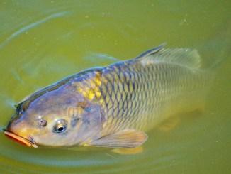 Fischschuppen eines Fisches im Wasser