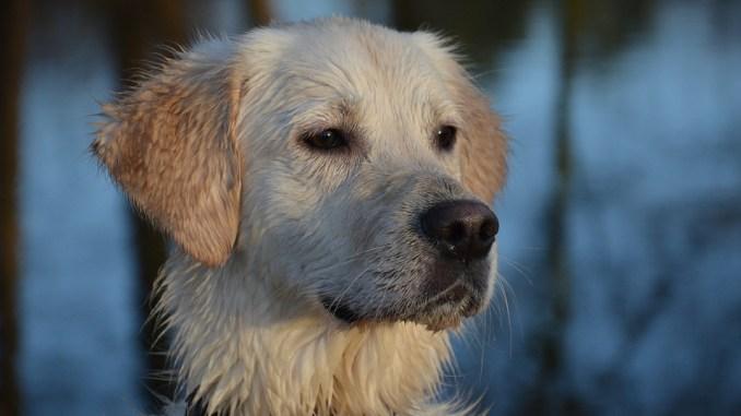 Goldenretriver sind in der Hunde Anschaffung teuer
