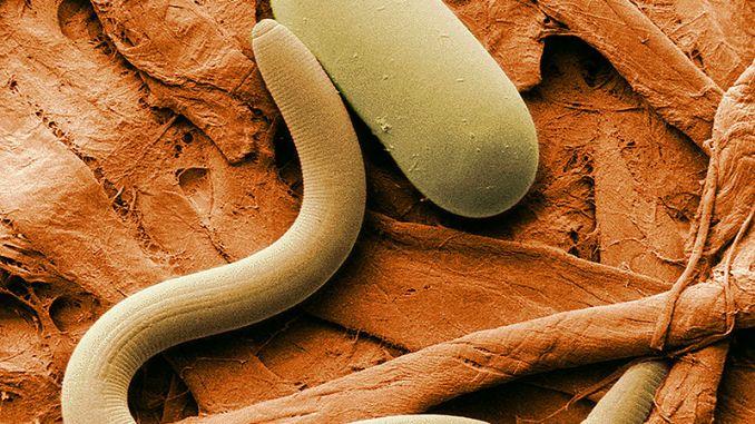 nematoden-fadenwurm