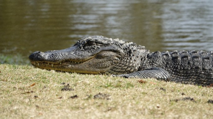 saurier-nachkommen-krokodil