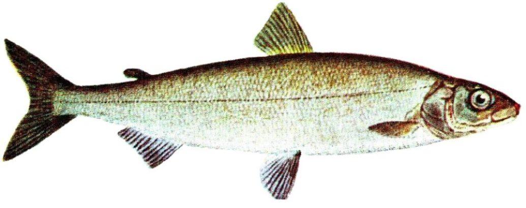 coregonus