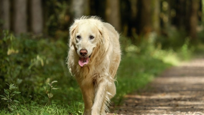 golden-retriever-spaziergang
