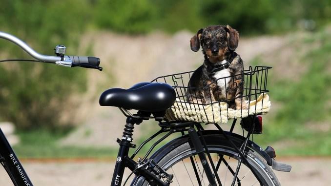 hund-hinten-am-fahrradkorb