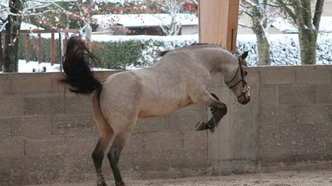 pferd-steigt