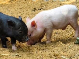 Minischwein_Minipig