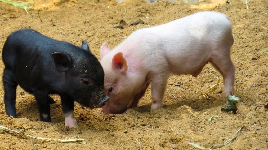 Zwergschwein Ausgewachsen