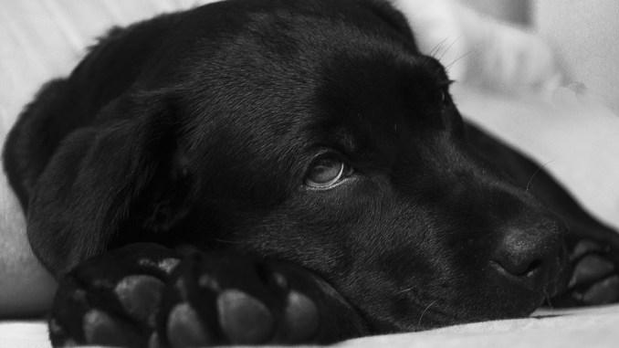 Schwarzer Hund