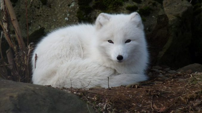 polarfuchs-im-winterfell