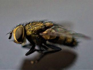 Schmetterlingsfliege