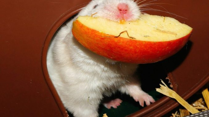 laufraeder fuer hamster