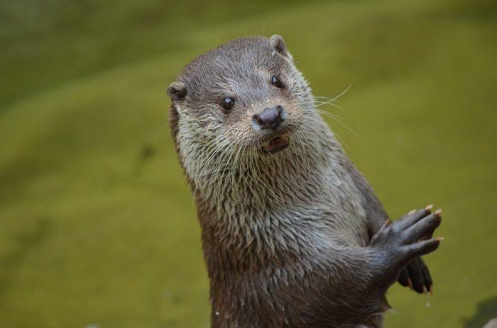 Otter-als-Haustier-halten