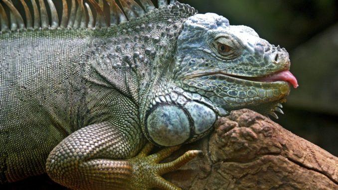 Leguane als Haustier halten sollte immer in einem Terrarium mit Baumstämmen geschehen
