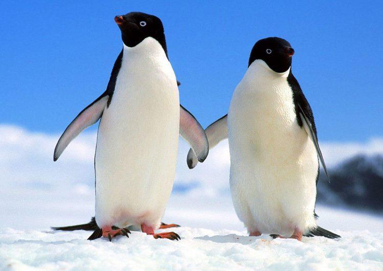 Penguin 2. Para los que no saben que es