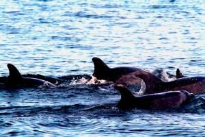 Delfines guían a científicos para rescatar un suicida