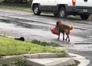 Perro de Texas es un héroe en el huracán Harvey