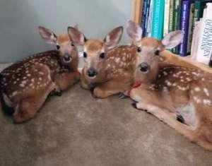Sorpresa! Halla 3 bebés venados dentro de su casa