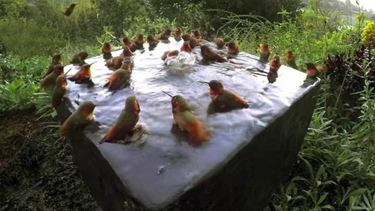 Video gracioso: 30 colibríes toman juntos un baño