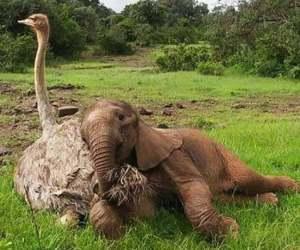Avestruz adopta un bebé elefante