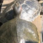Rotwangen-Schmuckschildkröte Pauline