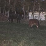 Freilaufende Ponys zwischen Flieden und Döngesmühle
