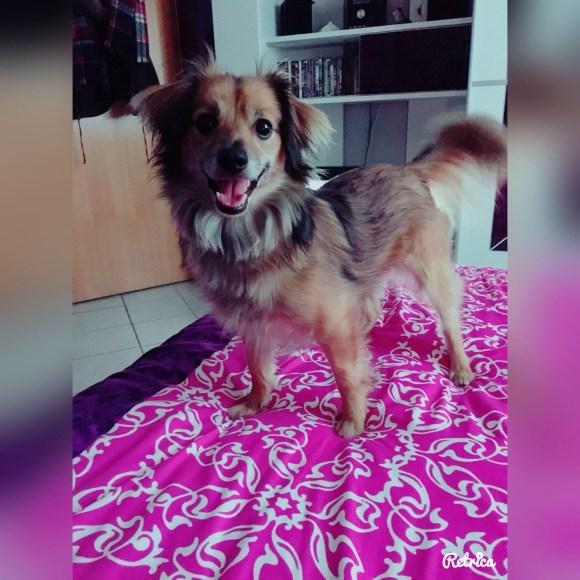 Raphi Chihuahua-Mix Rüde