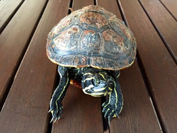 Schmuckschildkröte gefunden