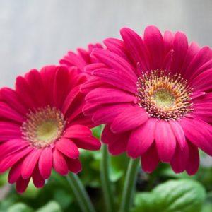 Hochzeitsblumen: Gerbera