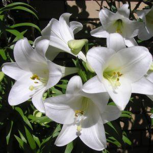 Hochzeitsblumen: Lilien