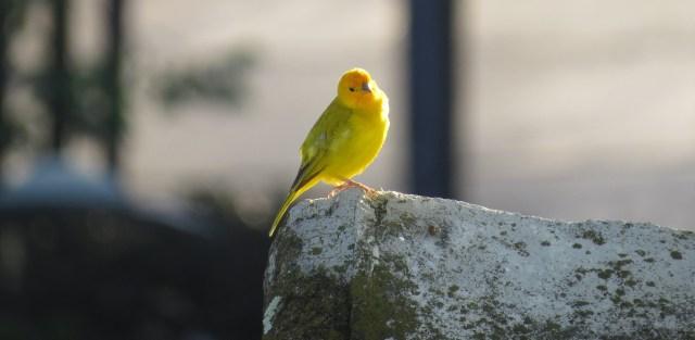Canary image.