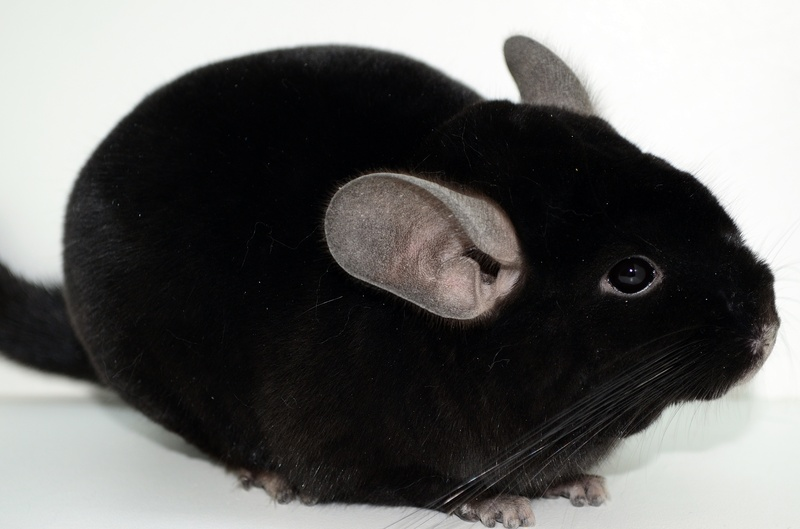 chinchilla facts-img