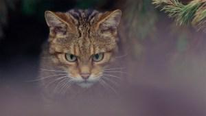 Islay, a Scottish Wildcat