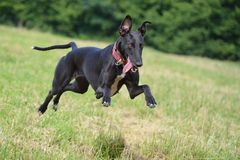 greyhound_alergand